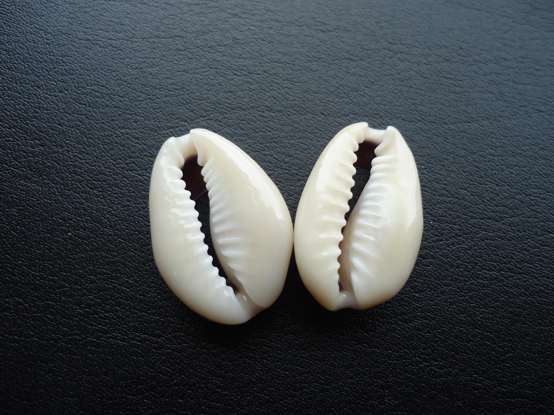 cauri coquillage
